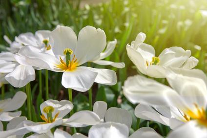 White tulips and sunshine.
